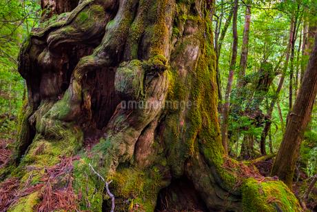 屋久島 仏陀杉の写真素材 [FYI02680529]