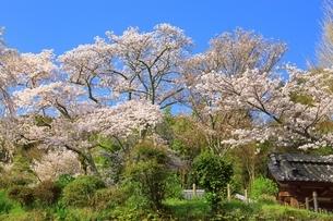 京都 地蔵禅院の桜の写真素材 [FYI02680544]