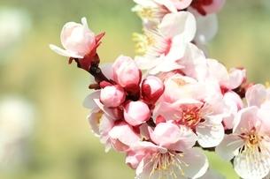 ウメの花 紅梅の写真素材 [FYI02680554]