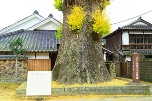 有田の大公孫樹の写真素材 [FYI02680568]