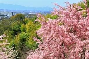大美和の杜展望台の枝垂桜と大神神社大鳥居の写真素材 [FYI02680577]