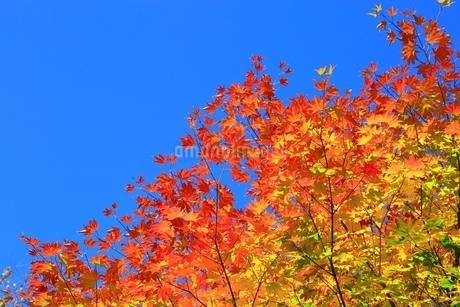 美留和の森と紅葉の写真素材 [FYI02680628]
