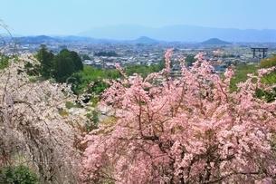 大美和の杜展望台の枝垂桜と大和三山の写真素材 [FYI02680630]