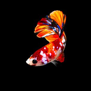 鯉ベタ キャンディーニモの写真素材 [FYI02680633]