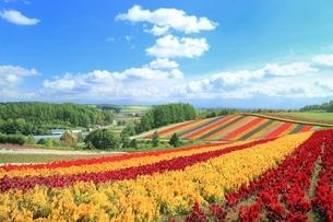 四季彩の丘の花畑の写真素材 [FYI02680679]