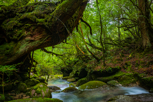 屋久島 白谷雲水峡 の写真素材 [FYI02680706]
