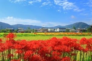 京都 ひがん花の里の写真素材 [FYI02680762]