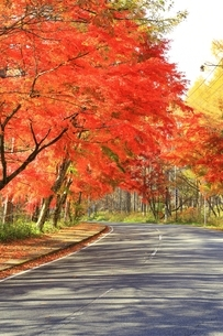 北杜八ケ岳公園道路の紅葉の写真素材 [FYI02680819]