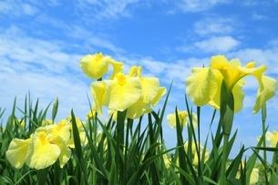北潟湖畔花菖蒲園の写真素材 [FYI02680864]