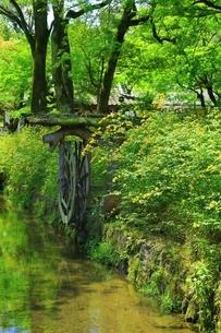 ヤマブキ咲く松尾大社の写真素材 [FYI02680879]
