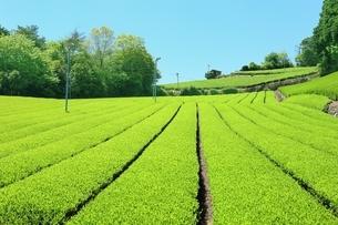 大和茶の茶畑の写真素材 [FYI02680926]