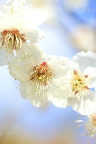 ウメの花 白梅の写真素材 [FYI02680992]