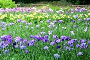 北潟湖畔花菖蒲園の写真素材 [FYI02681172]