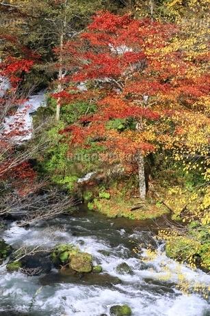 阿寒川の紅葉の写真素材 [FYI02681221]