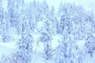 十勝岳温泉から望む樹氷林の写真素材 [FYI02681228]