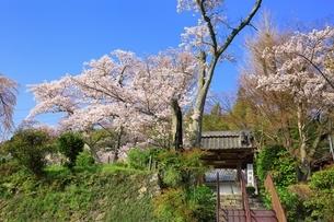 京都 地蔵禅院の桜の写真素材 [FYI02681302]