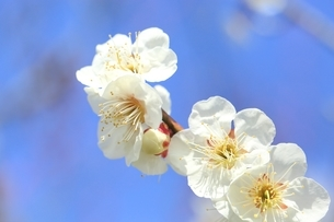 ウメの花 白梅の写真素材 [FYI02681304]