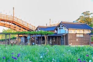 水郷潮来あやめ園の写真素材 [FYI02681529]