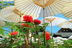 ボタン咲く乙訓寺の写真素材 [FYI02681539]