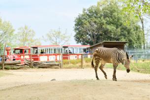 動物園内で赤い汽車とシマウマの写真素材 [FYI02681640]