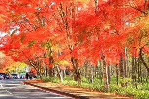 北杜八ケ岳公園道路の紅葉の写真素材 [FYI02681655]