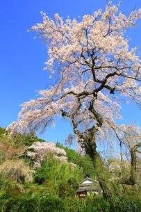 京都 地蔵禅院の桜の写真素材 [FYI02681710]