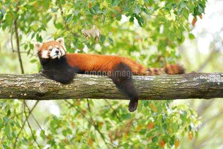 木の上で休んでいるレッサーパンダの写真素材 [FYI02681734]