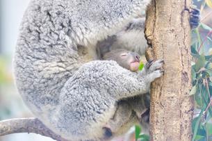 お腹の中から顔を出したコアラの赤ちゃんの写真素材 [FYI02681750]