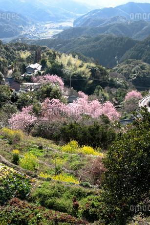 桑田山の雪割り桜の写真素材 [FYI02681793]