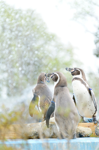 水辺で佇むペンギンの写真素材 [FYI02681799]