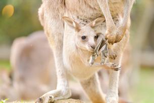 お腹の中から顔を出したオオカンガルーの赤ちゃんの写真素材 [FYI02681917]
