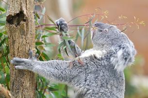 ユーカリを掴んでいるコアラの写真素材 [FYI02681940]