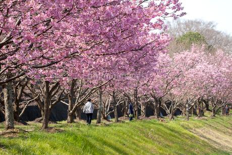 陽光桜の土手を散歩する人の写真素材 [FYI02681991]