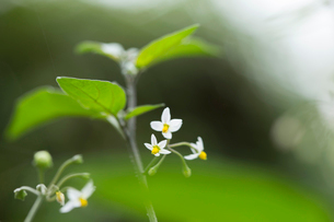イヌホオズキの花の写真素材 [FYI02682011]