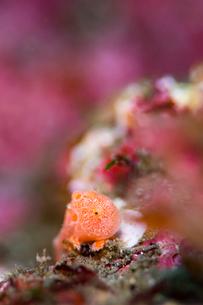 オオモンカエルアンコウの幼魚の写真素材 [FYI02682127]