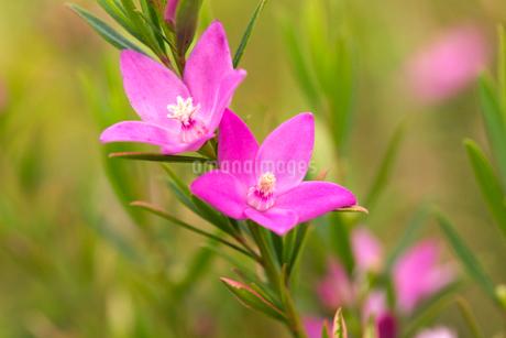 サザンクロスの花の写真素材 [FYI02682152]