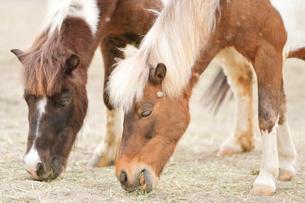 餌を食べている2頭の馬の写真素材 [FYI02682171]