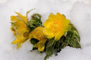 雪の中の福寿草の写真素材 [FYI02682274]