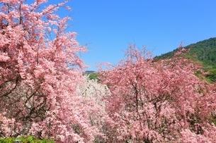 大美和の杜展望台の枝垂桜と三輪山の写真素材 [FYI02682307]
