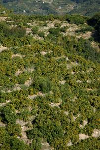 日の丸みかんの畑の写真素材 [FYI02682329]