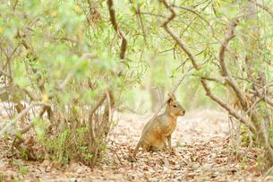 茂みの中で座っているマーラの写真素材 [FYI02682396]