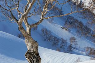 八方尾根より残雪とダケカンバの樹々たちの写真素材 [FYI02682441]