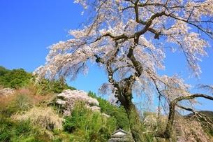 京都 地蔵禅院の桜の写真素材 [FYI02682462]