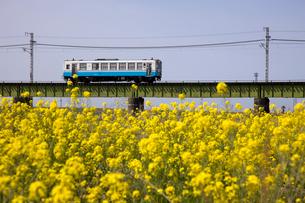 鉄橋を渡るローカル列車と菜の花畑の写真素材 [FYI02682502]