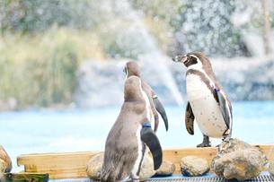 水辺で佇むペンギンの写真素材 [FYI02682656]