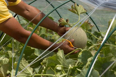 メロンを収穫する青年の写真素材 [FYI02684901]
