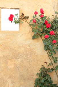 バラと茶色い壁の写真素材 [FYI02685417]
