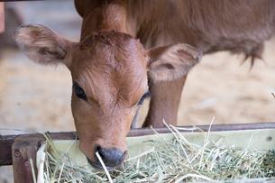 牛舎で餌を食べるジャージー牛の写真素材 [FYI02686340]