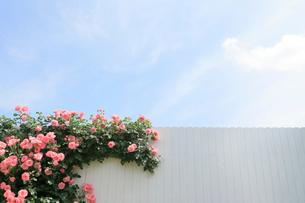 白壁につたうバラと爽やかな青空の写真素材 [FYI02686469]