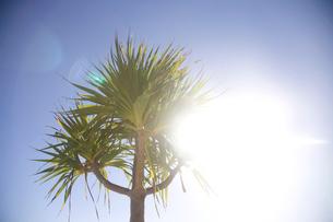 太陽に照らされたアカタコノキの写真素材 [FYI02686528]